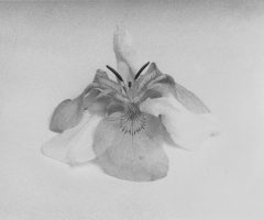 21_Untitled (Doubled Iris), 2015